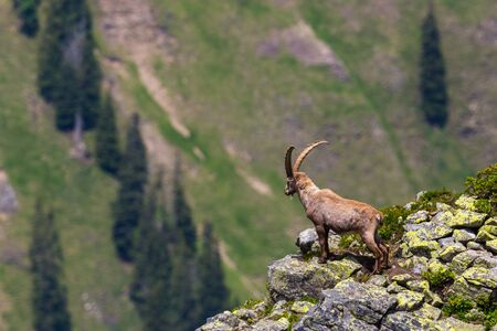 natural male alpine ibex capricorn standing on rocks looking in abyss