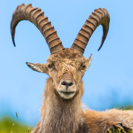 natural close-up male alpine capra ibex capricorn sitting in meadow Imagens