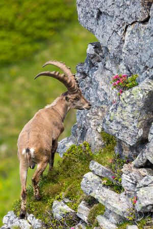 male natural alpine capra ibex capricorn standing at rock in steep grassland Imagens