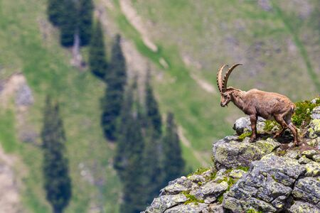male natural alpine ibex capricorn standing on rocks at scarp