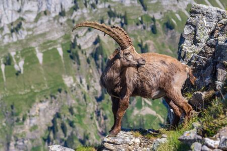 natural male alpine ibex capricorn standing at abyss looking back Imagens