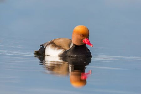 natural male red-crested pochard (netta rufina) swimming on flat water surface