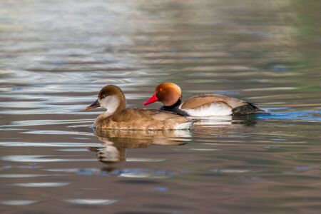 red-crested pochard duck (netta rufina) couple swimming in water