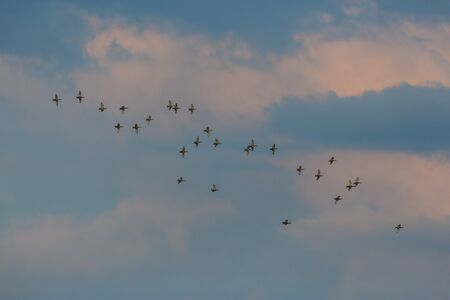 many red-crested pochards ducks (netta rufina) in flight during migration Archivio Fotografico - 134329397