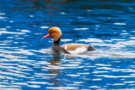 one male red-crested pochard duck (netta rufina) in blue water