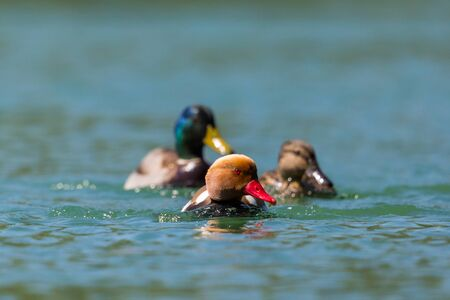 three different natural colorful ducks swimming in water in sunlight Stock fotó