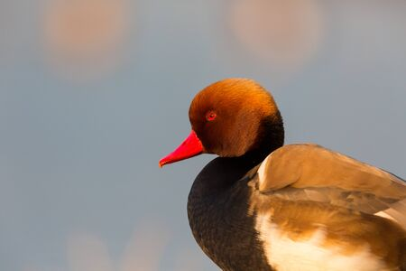 close-up side view male red-crested pochard (netta rufina) in morning sunlight