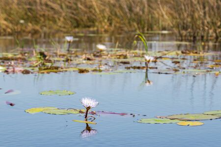 natural Okavango river with reed, blossom and green leaves of white water lily Stock fotó