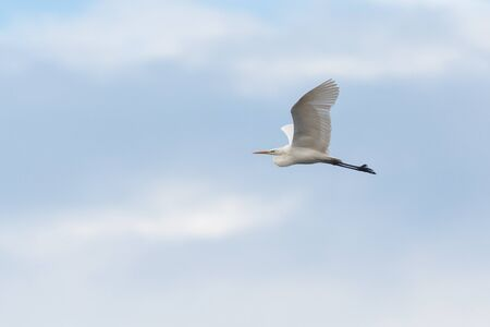 one great white egret (ardea alba) in flight with spread wings in cloudy sky