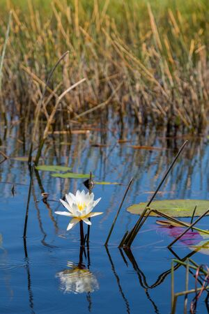 natural white bloom of waterlily in Okavango river with water and reed Archivio Fotografico - 134329489