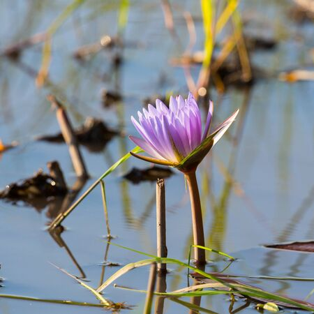 one natural purple blossom of water lily in Okavango river Archivio Fotografico - 134329488