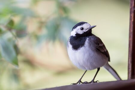 close-up one white wagtail bird (motacilla alba) standing on window frame