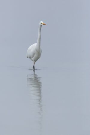 isolated great white egret (ardea alba) walking through shallow water