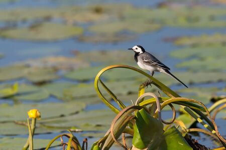 white wagtail bird (motacilla alba) in front of pond water in sunlight