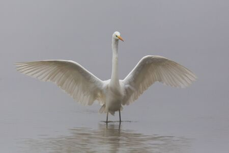 great white egret (ardea alba) landing in shallow water with spread wings in fog Stock fotó