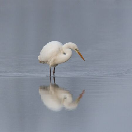 mirrored natural great white egret (ardea alba) standing in shallow water