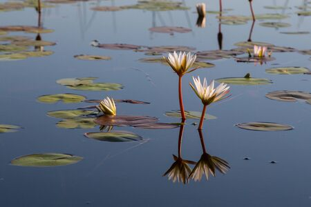 bloom of white waterlily reflected in natural Okavango river