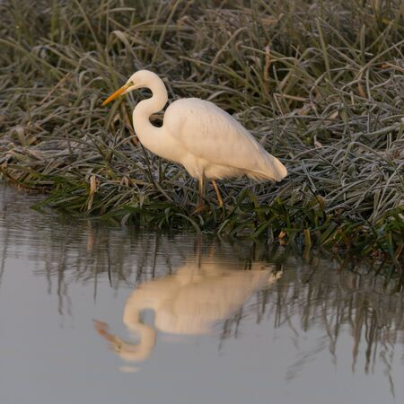 one great white egret (ardea alba) standing at frozen river shore