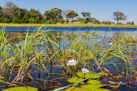natural Okavango river with blooms and green leaves of white water lily