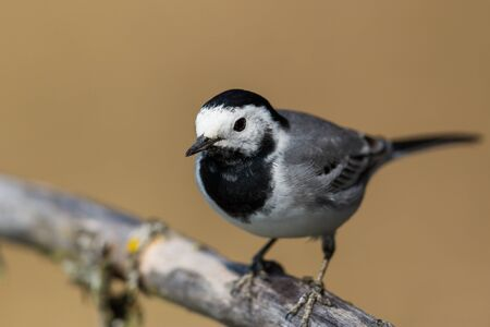 portrait natural white wagtail (motacilla alba) standing on branch Stock fotó