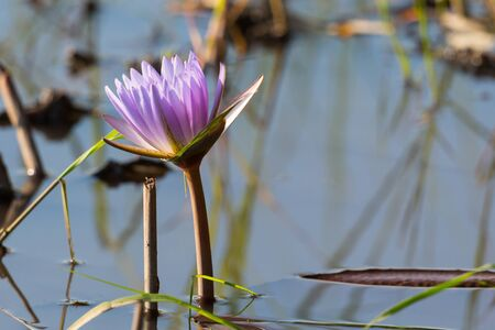 one purple bloom of water lily in Okavango river