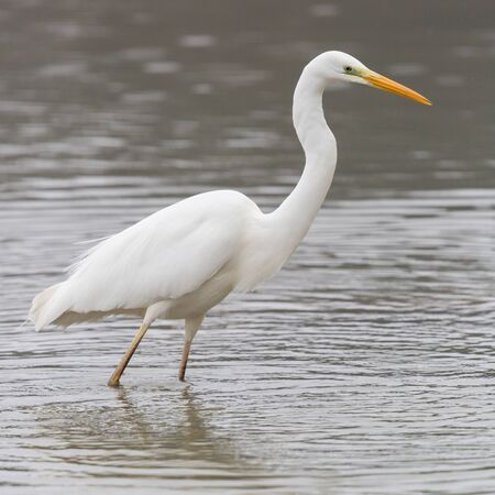 close-up natural great white egret (ardea alba) standing in shallow water