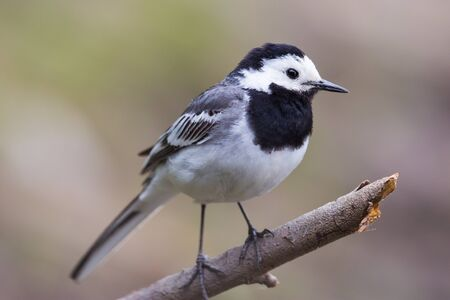 close-up one natural white wagtail bird (motacilla alba) standing on branch Stock fotó