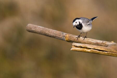 one white wagtail bird (motacilla alba) standing on tree branch Stock fotó