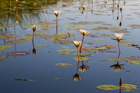 blossoms of white water lily mirrored in natural Okavango river in Botswana