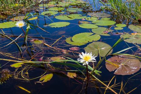 natural blooms and green leaves of white water lily in Okavango river Stock fotó