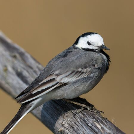 close side view white wagtail bird (motacilla alba) standing on branch Stock fotó