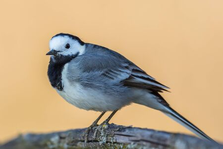 one isolated white wagtail (motacilla alba) standing on tree branch Stock fotó