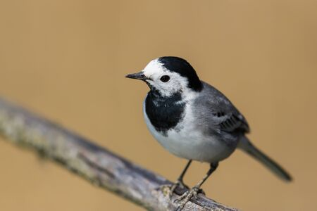 natural close-up isolated white wagtail (motacilla alba) standing on branch Stock fotó