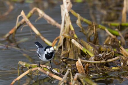 one white wagtail bird (motacilla alba) standing on reed stalk
