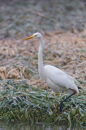 one great white egret (ardea alba) walking through frozen grass
