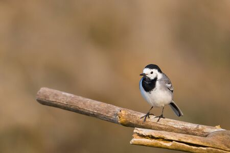 natural white wagtail bird (motacilla alba) standing on tree in sunlight