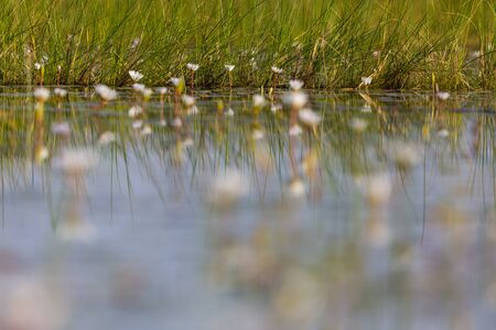 blossoms of white water lily reflected in natural Okavango river in Botswana