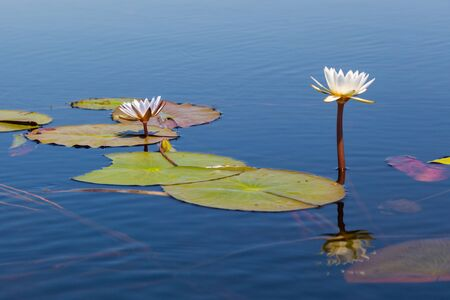 natural bloom of white waterlily with green leaves in African Okavango river
