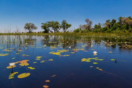green vegetation at natural Okavango river, water lily, blue sky, trees