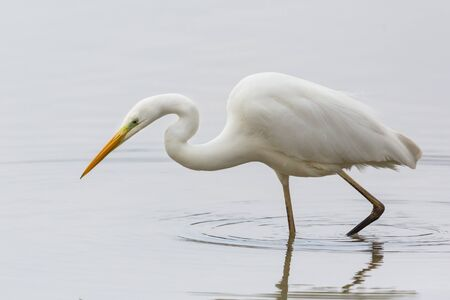 natural portrait great white egret (ardea alba) hunting in shallow water