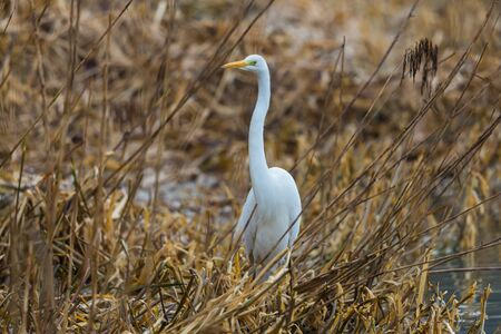 one natural great white egret (ardea alba) standing in reed in winter