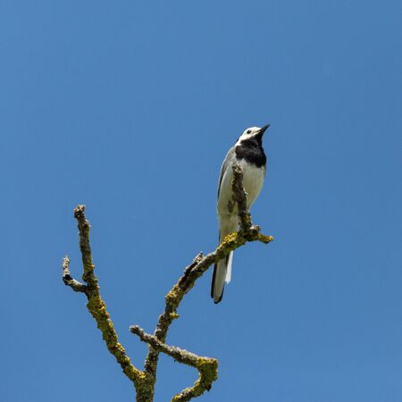 natural white wagtail bird (motacilla alba) on branch in blue sky
