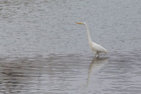 one great white egret (ardea alba) wading through shallow water