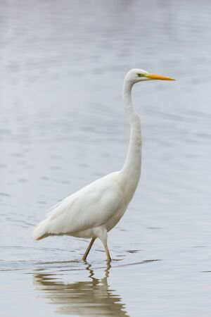 close-up natural great white egret (ardea alba) walking through shallow water Stock fotó