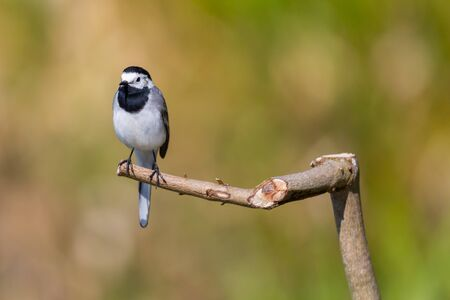 isolated white wagtail bird (motacilla alba) sitting on tree branch