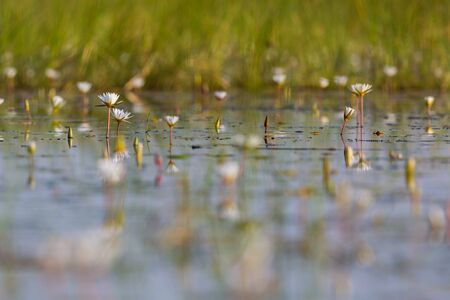bloom of many white water lily reflected in natural Okavango river in Botswana Stock fotó