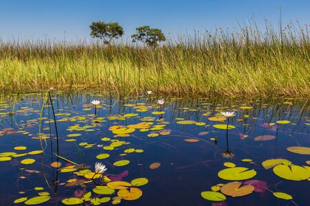 green vegetation at Okavango river in Botswana with white water lily in bloom Stock fotó
