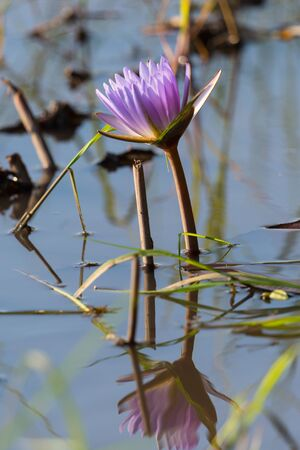 one purple bloom of water lily mirrored in Okavango river