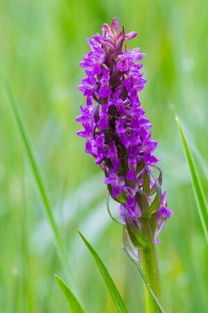 close-up natural purple blooming orchid flower in green meadow Stock fotó