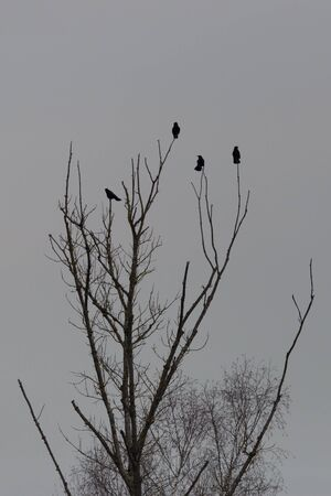 natural black ravens sitting on crown of tree in winter at dawn Stock fotó